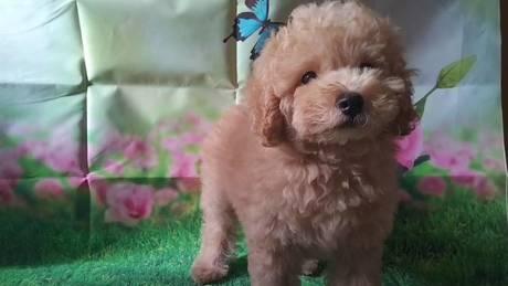 トイプードルの子犬(ID:1246111035)の3枚目の写真/更新日:2021-07-09