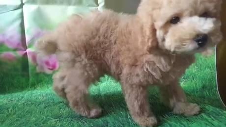 トイプードルの子犬(ID:1246111035)の4枚目の写真/更新日:2021-07-09