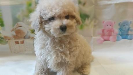 トイプードルの子犬(ID:1246111040)の1枚目の写真/更新日:2020-11-22