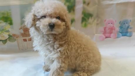 トイプードルの子犬(ID:1246111040)の2枚目の写真/更新日:2020-11-22