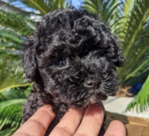 トイプードルの子犬(ID:1246111042)の1枚目の写真/更新日:2020-11-22