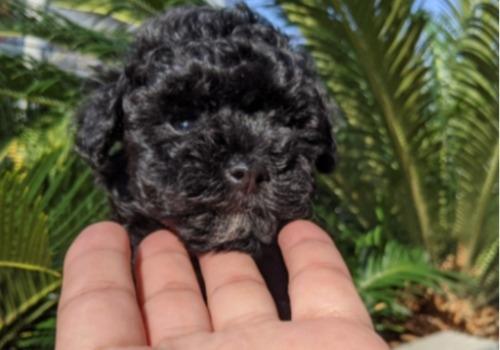 トイプードルの子犬(ID:1246111042)の2枚目の写真/更新日:2020-11-22