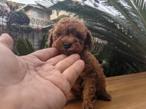 トイプードルの子犬(ID:1246111043)の1枚目の写真/更新日:2020-12-29