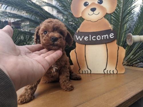 トイプードルの子犬(ID:1246111043)の2枚目の写真/更新日:2020-12-29
