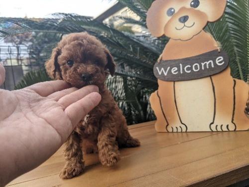 トイプードルの子犬(ID:1246111043)の3枚目の写真/更新日:2020-12-29