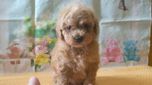 トイプードルの子犬(ID:1246111049)の2枚目の写真/更新日:2021-04-07
