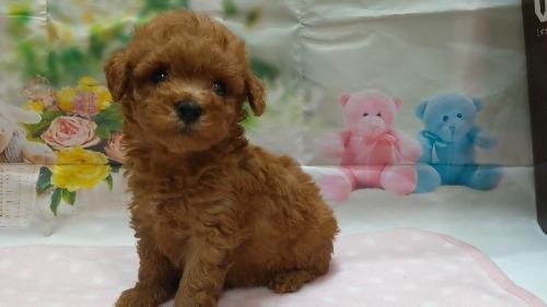 トイプードルの子犬(ID:1246111050)の1枚目の写真/更新日:2021-04-07