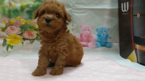 トイプードルの子犬(ID:1246111050)の2枚目の写真/更新日:2021-04-07