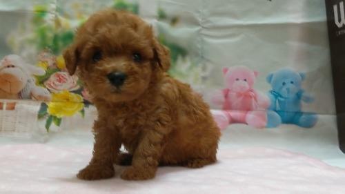 トイプードルの子犬(ID:1246111050)の4枚目の写真/更新日:2021-04-07