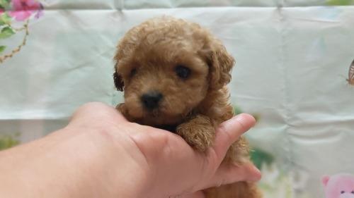 トイプードルの子犬(ID:1246111052)の1枚目の写真/更新日:2021-04-07