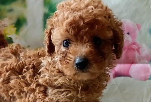 トイプードルの子犬(ID:1246111053)の1枚目の写真/更新日:2021-05-04