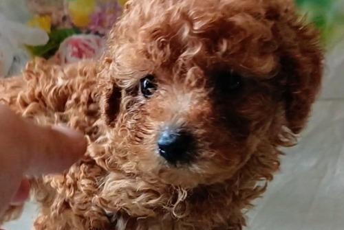 トイプードルの子犬(ID:1246111053)の2枚目の写真/更新日:2021-05-04