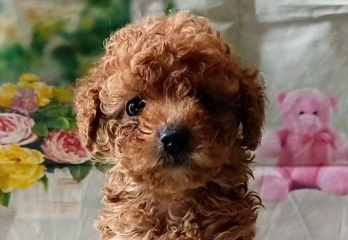 トイプードルの子犬(ID:1246111053)の3枚目の写真/更新日:2021-05-04