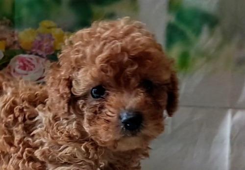 トイプードルの子犬(ID:1246111053)の4枚目の写真/更新日:2021-05-04