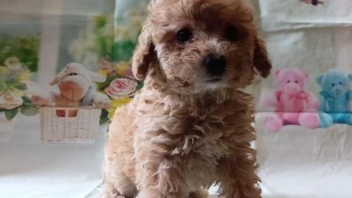 トイプードルの子犬(ID:1246111054)の2枚目の写真/更新日:2021-05-04