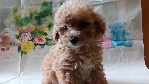 トイプードルの子犬(ID:1246111054)の3枚目の写真/更新日:2021-05-04