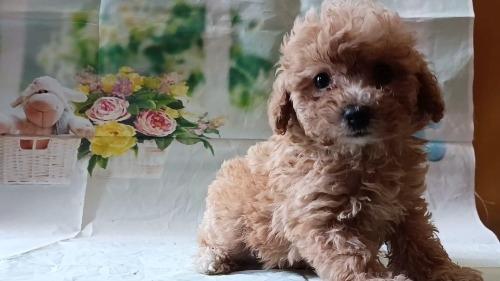 トイプードルの子犬(ID:1246111054)の4枚目の写真/更新日:2021-05-04