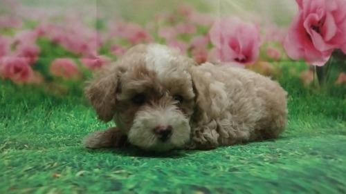 トイプードルの子犬(ID:1246111056)の1枚目の写真/更新日:2021-07-30