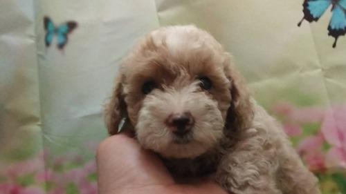 トイプードルの子犬(ID:1246111056)の3枚目の写真/更新日:2021-07-30