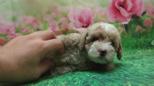 トイプードルの子犬(ID:1246111056)の4枚目の写真/更新日:2021-07-30