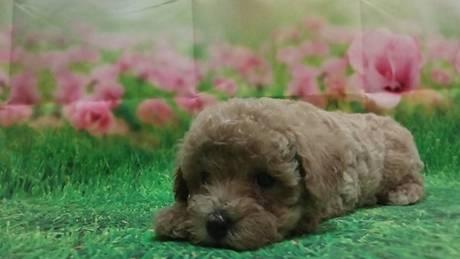 トイプードルの子犬(ID:1246111057)の1枚目の写真/更新日:2021-07-31