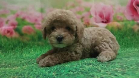 トイプードルの子犬(ID:1246111057)の3枚目の写真/更新日:2021-07-31