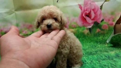 トイプードルの子犬(ID:1246111058)の1枚目の写真/更新日:2021-07-31