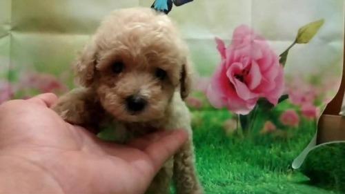 トイプードルの子犬(ID:1246111058)の2枚目の写真/更新日:2021-07-31