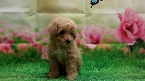 トイプードルの子犬(ID:1246111058)の3枚目の写真/更新日:2021-07-31