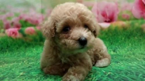 トイプードルの子犬(ID:1246111058)の4枚目の写真/更新日:2021-07-31
