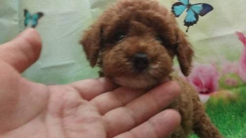 トイプードルの子犬(ID:1246111059)の2枚目の写真/更新日:2021-07-31