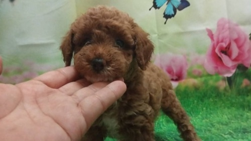 トイプードルの子犬(ID:1246111059)の3枚目の写真/更新日:2021-07-31
