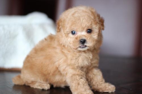 トイプードルの子犬(ID:1246211122)の1枚目の写真/更新日:2017-04-24