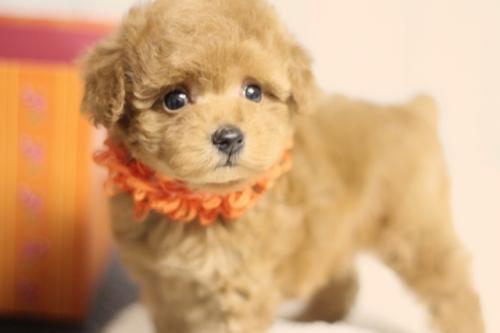 トイプードルの子犬(ID:1246211125)の1枚目の写真/更新日:2018-09-18