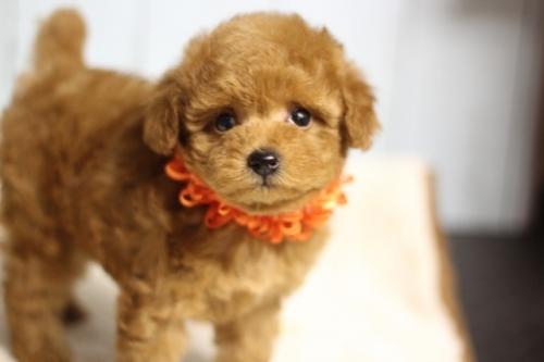 トイプードルの子犬(ID:1246211125)の3枚目の写真/更新日:2018-09-18