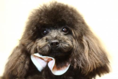 トイプードルの子犬(ID:1246211130)の1枚目の写真/更新日:2016-11-30
