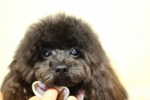 トイプードルの子犬(ID:1246211130)の2枚目の写真/更新日:2016-11-30