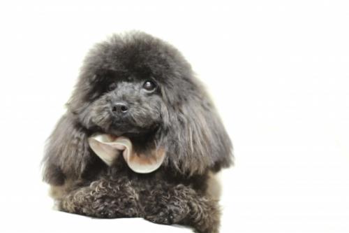 トイプードルの子犬(ID:1246211130)の3枚目の写真/更新日:2017-04-24