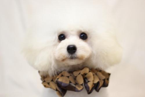 トイプードルの子犬(ID:1246211131)の1枚目の写真/更新日:2017-04-24