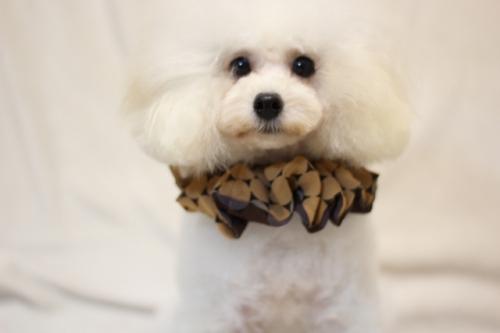 トイプードルの子犬(ID:1246211131)の2枚目の写真/更新日:2016-08-19