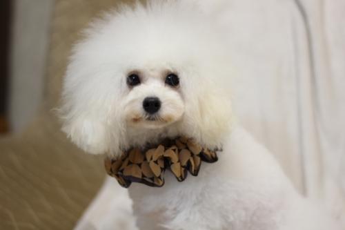 トイプードルの子犬(ID:1246211131)の3枚目の写真/更新日:2017-04-24