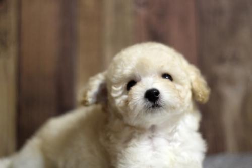 トイプードルの子犬(ID:1246211132)の1枚目の写真/更新日:2017-04-24