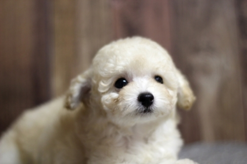 トイプードルの子犬(ID:1246211132)の2枚目の写真/更新日:2017-04-24