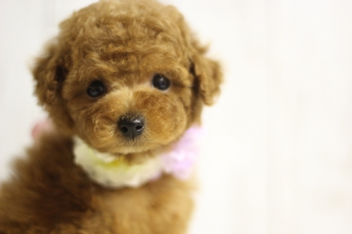 トイプードルの子犬(ID:1246211134)の1枚目の写真/更新日:2016-11-30