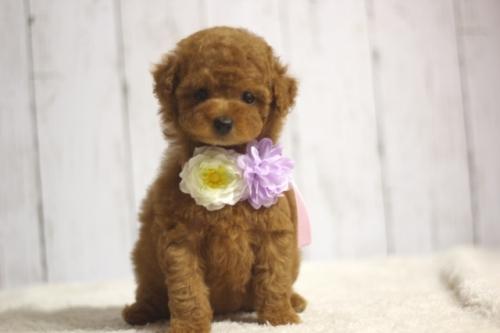 トイプードルの子犬(ID:1246211134)の3枚目の写真/更新日:2016-11-30
