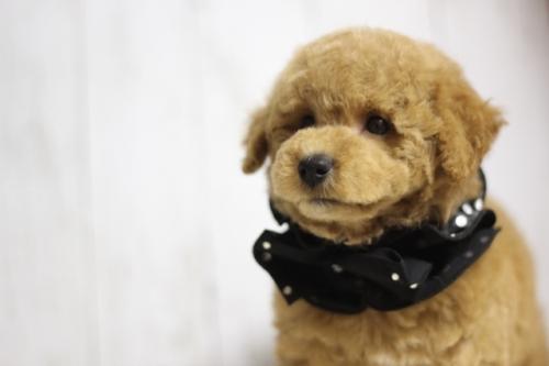 トイプードルの子犬(ID:1246211135)の1枚目の写真/更新日:2016-11-30