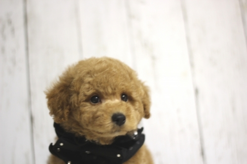 トイプードルの子犬(ID:1246211135)の3枚目の写真/更新日:2016-11-30