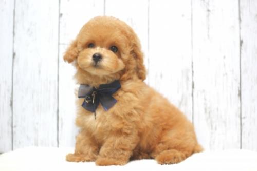 トイプードルの子犬(ID:1246211136)の1枚目の写真/更新日:2017-04-24