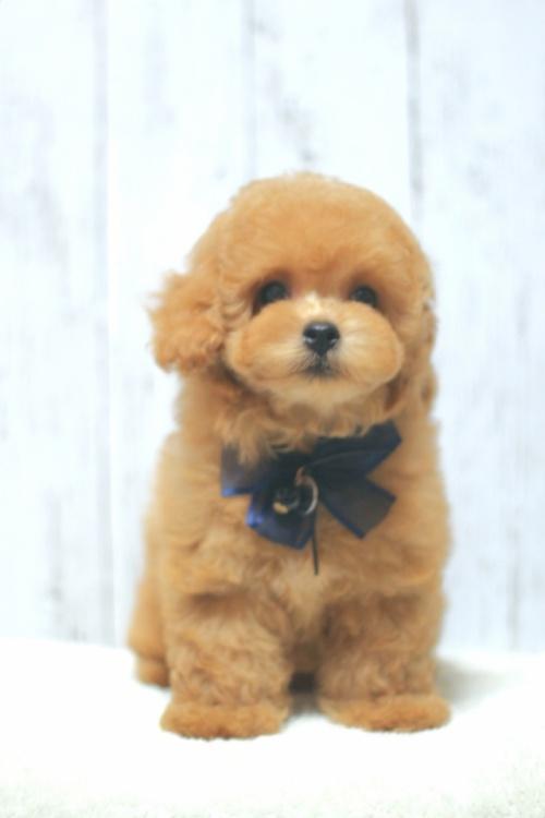トイプードルの子犬(ID:1246211136)の2枚目の写真/更新日:2016-11-30