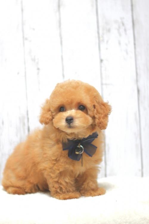 トイプードルの子犬(ID:1246211136)の3枚目の写真/更新日:2016-11-30